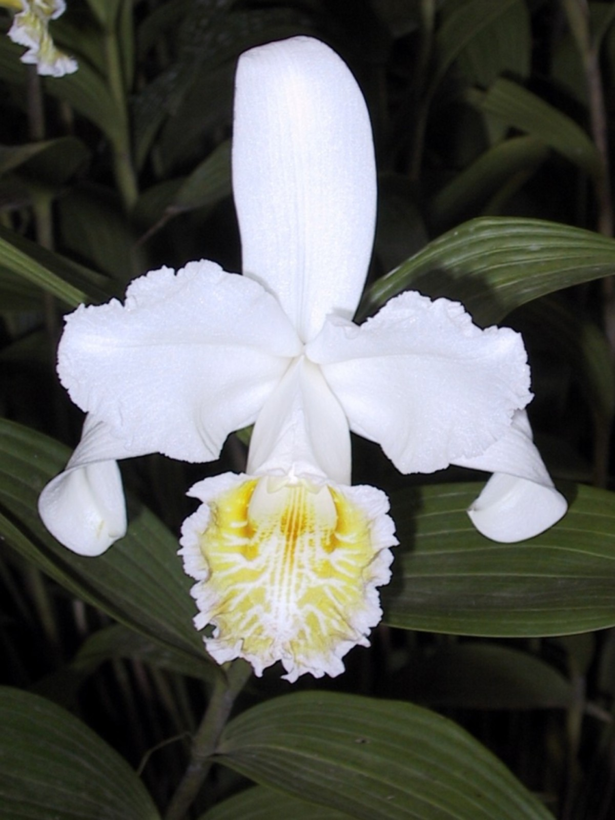 Sobralia at Costa Rica show, spring 2002