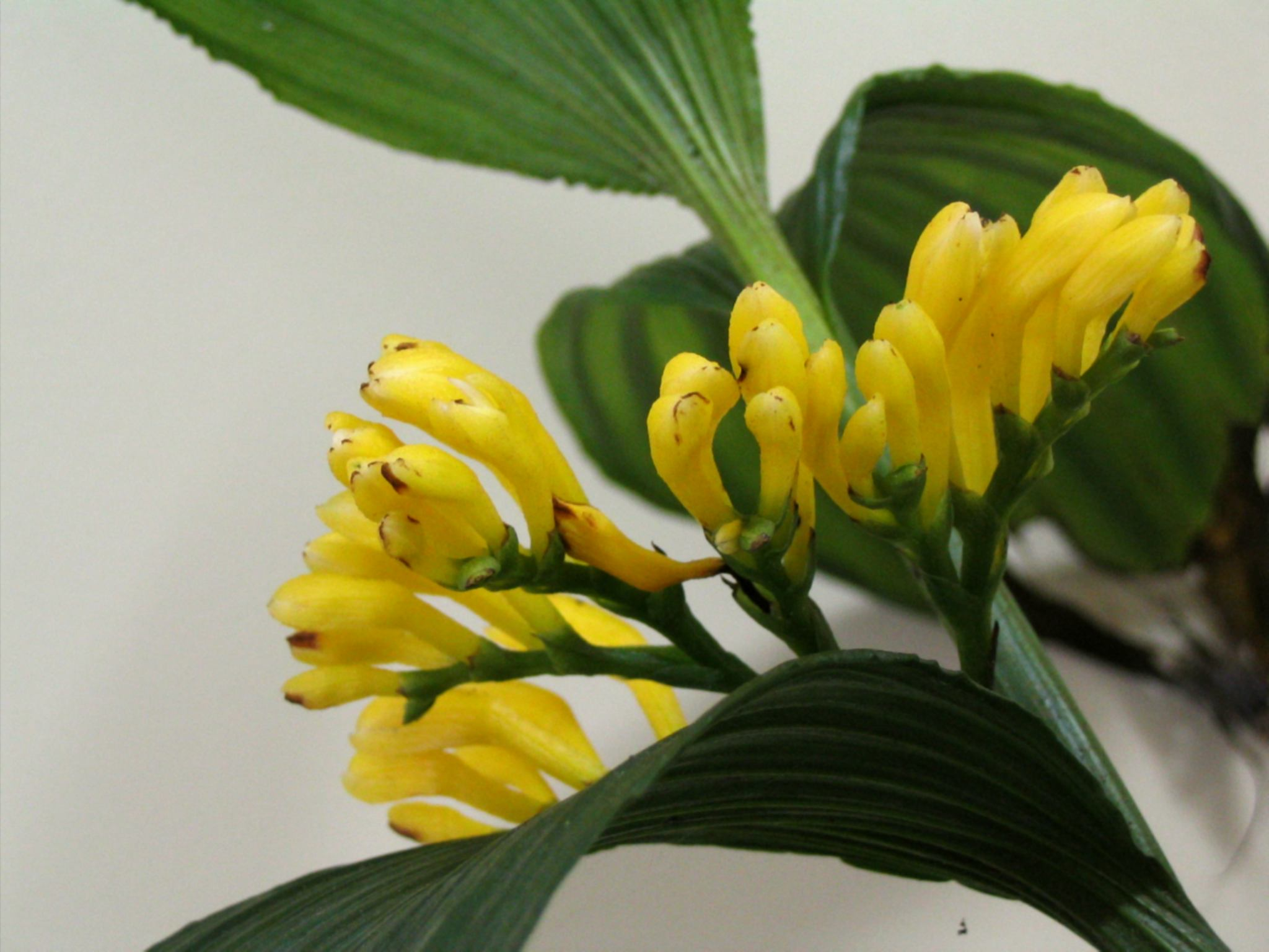 Corymborchis flava flowers, by Roberto Takase