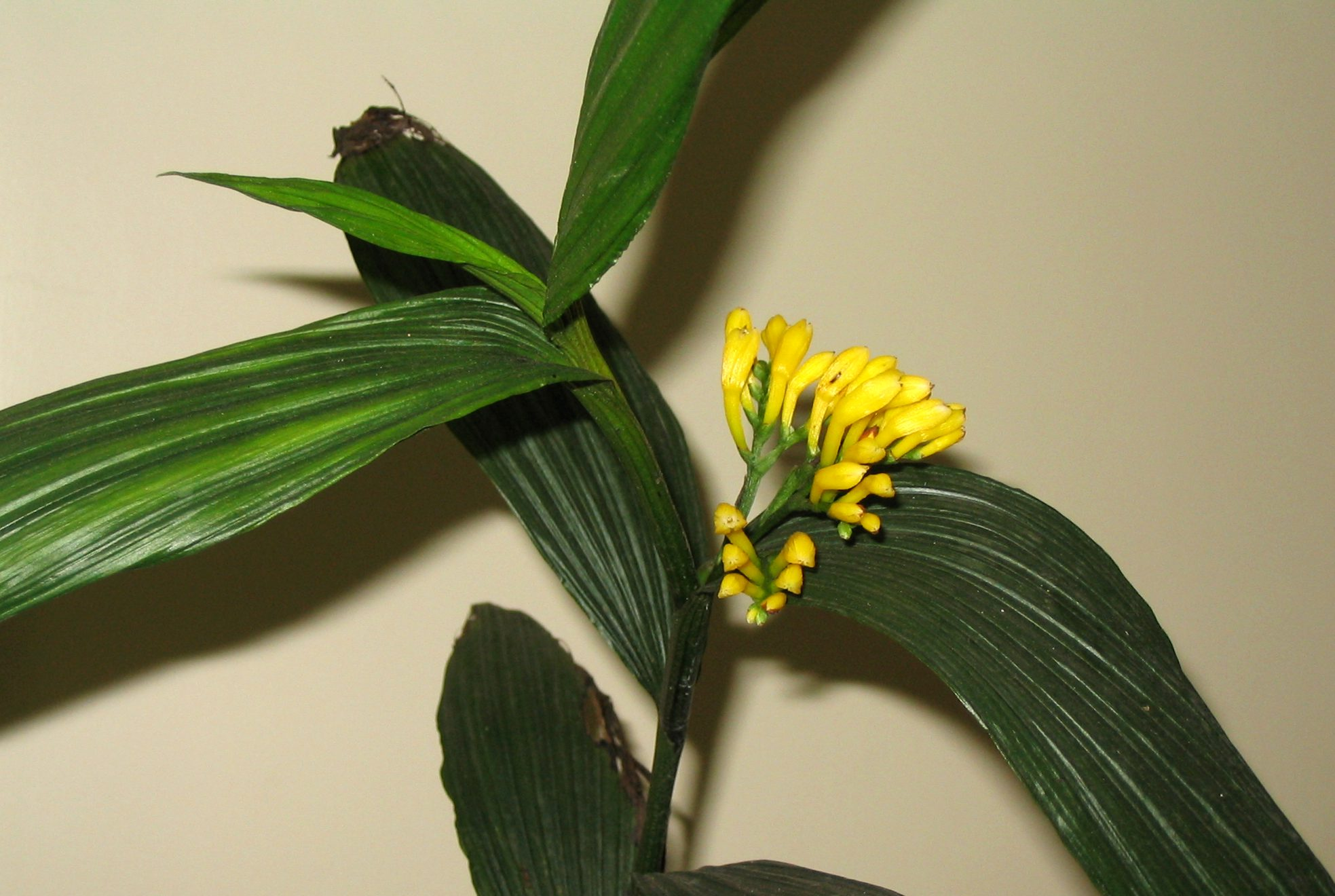 Corymborchis flava inflorescence, by Roberto Takase