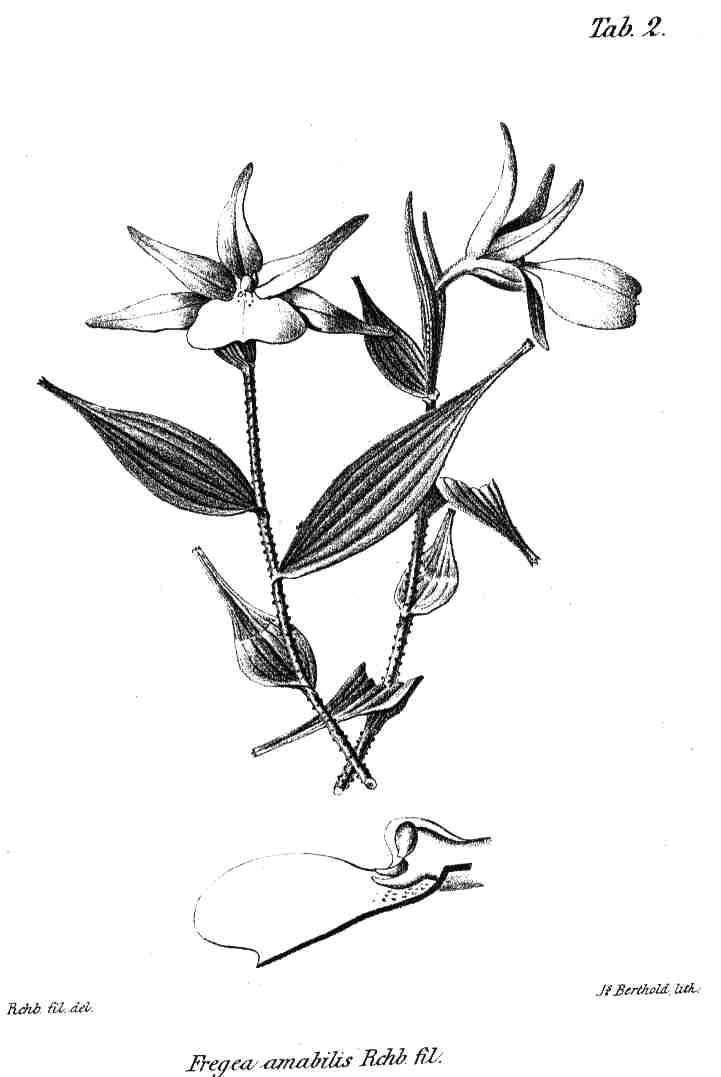 Fregea amabilis type-drawing