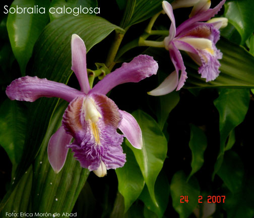 Sobralia caloglossa photo by Erica Moron de Abad