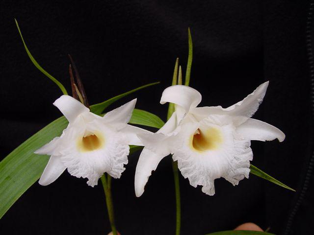 Sobralia kruscayae, 2 flowers