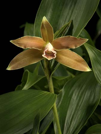 Sobralia luteola photo by Greg Allikas
