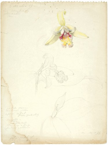 Sobralia margaritae sketch by Margaret Mee