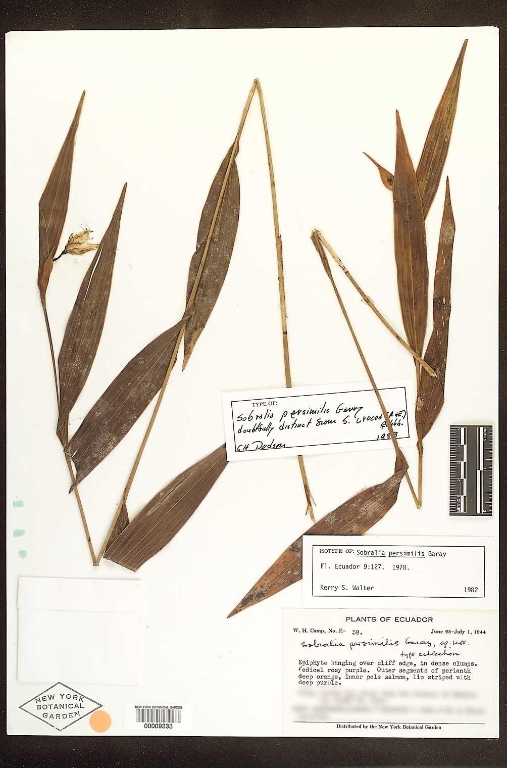 Sobralia persimilis herbarium sheet