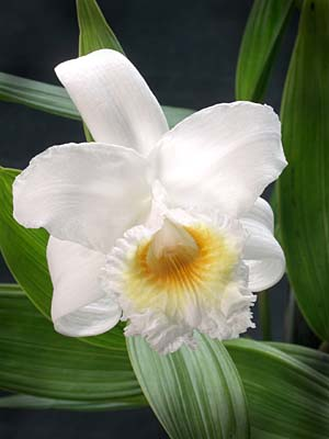Sobralia virginalis photo by Greg Allikas