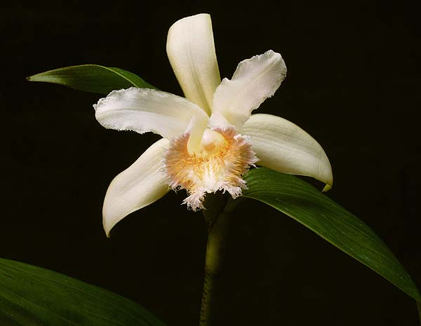 Sobralia withneri photo by Greg Allikas