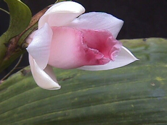 Sobralia from Bocas del Toro, Panama