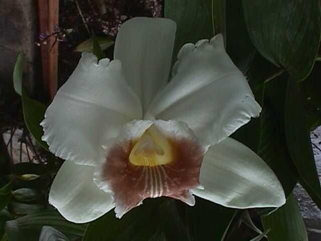 Sobralia from Rio Sereno, Panama