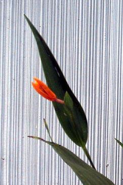 Sobralia persimilis photo by Nina Rach