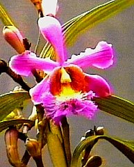 Sobralia dichotoma by Olin Karch, from Machu Picchu, Peru