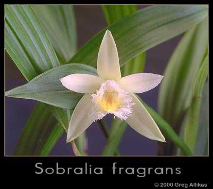 Sobralia fragrans by Greg Allikas