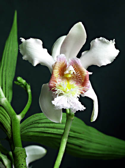 Photo of Sobralia mutisii from Guillermo Angulo