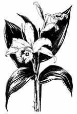 Sobralia panamensis drawing by Blanche Ames