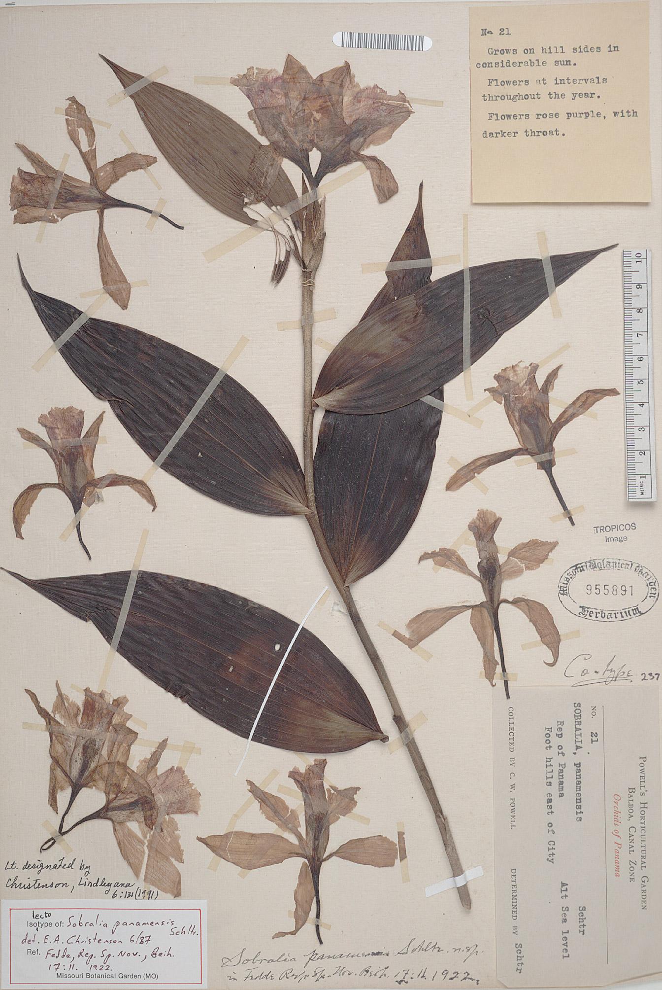 Sobralia panamensis lectotype