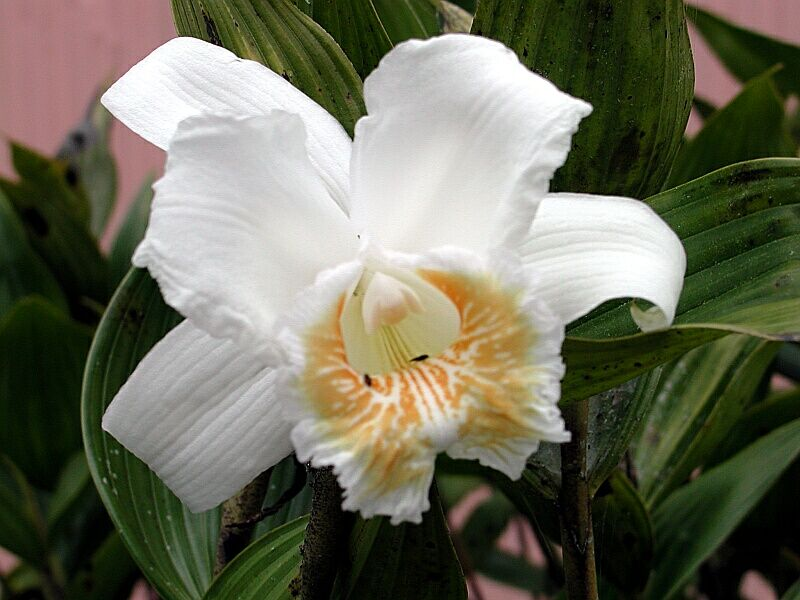 Sobralia sp., Costa Rica